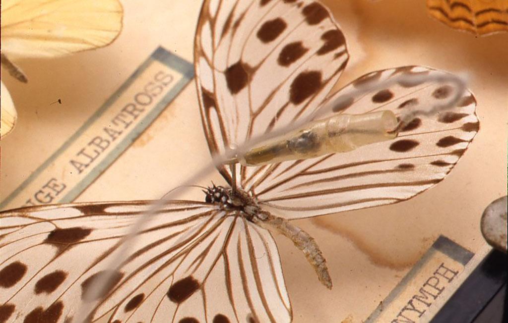 """ピンのところにクリップを付けたところ。蝶の名前は""""W00D-NYMPH""""(本の妖精)、 FENが聞こえています。"""
